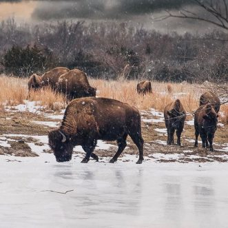 Visit the Bison at Minneopa State Park – Mankato, MN